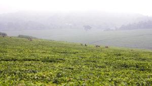 Tea fields.